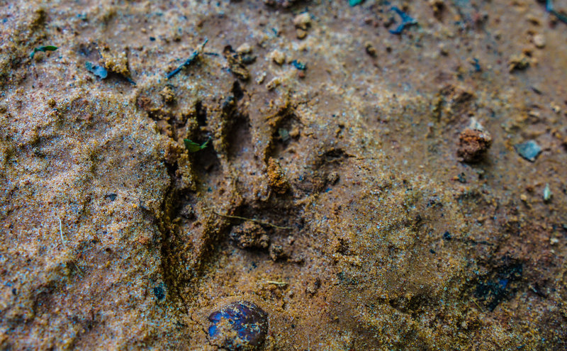 Wildlife tracks, like this raccoon print, litter the trail throughout the entire forest.
