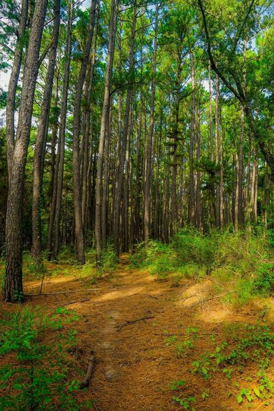 Several stands of tall pines open up the forest floor along the trail.