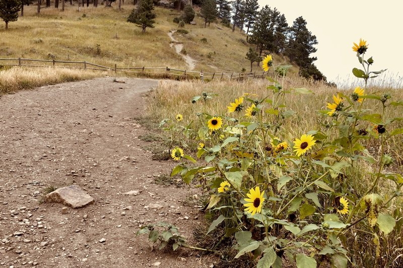 Wild sunflowers along the trail. Adding some beauty to my day.