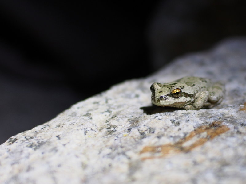 Secret Lake frog