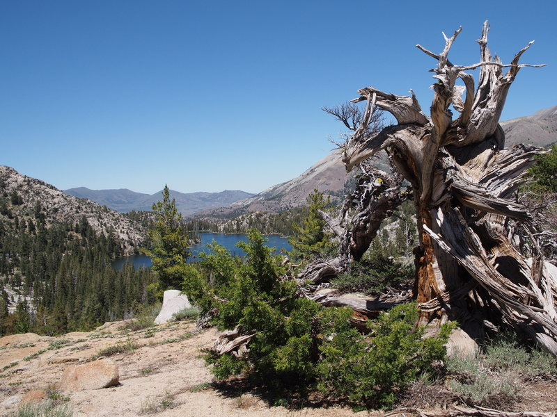 ancient tree overlooking Fremont Lake