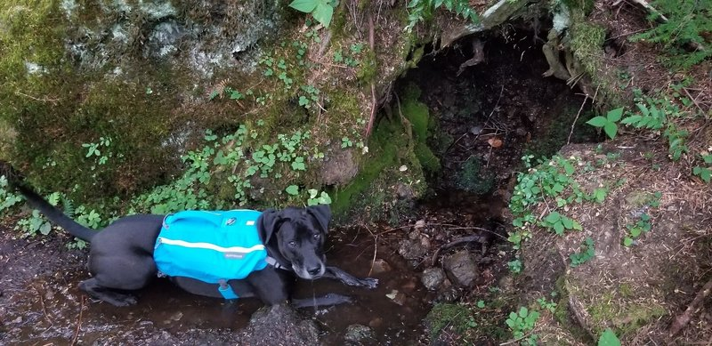 Water is flowing down from this tree's partially hollowed out roots. My pup enjoyed it.