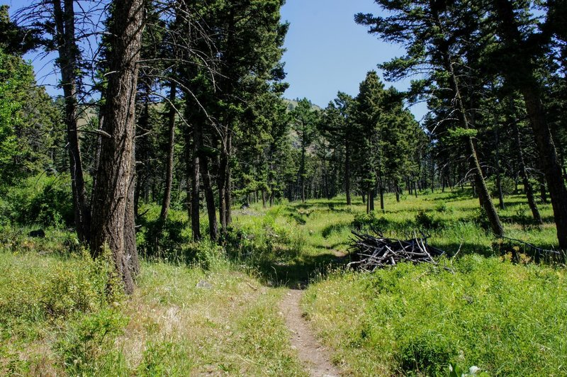 Open trail through the pines