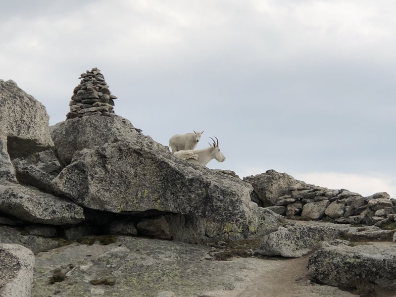 Goats guarding the peak of Mt. Spalding