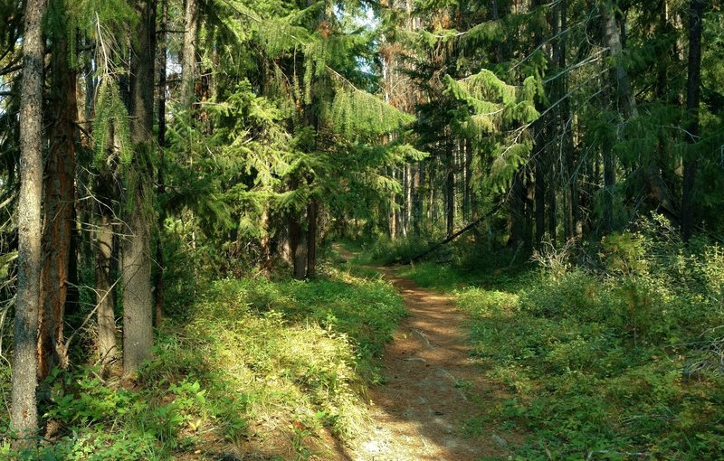 The beautiful forest of the Dorothy, Christine and Virl Lakes Trail on a sunny summer morning.