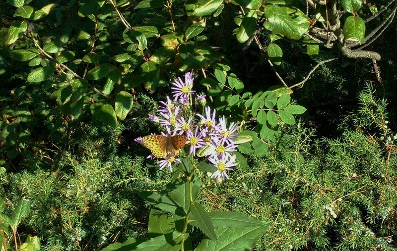 Fritillary butterfly among the asters of Dorothy, Christine and Virl Lakes Trail.