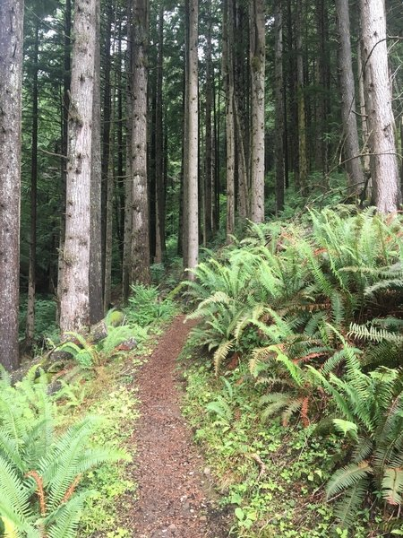 Beautiful and shady trail climbing Tiger Mountain