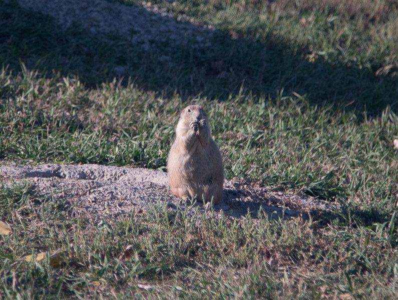 Prairie dog outside his burrow.