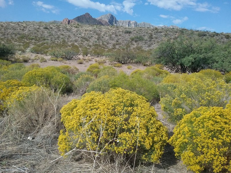Snake weed and Franklin Mountains.