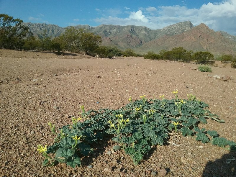 Coyote gourds and Franklin Mountains.