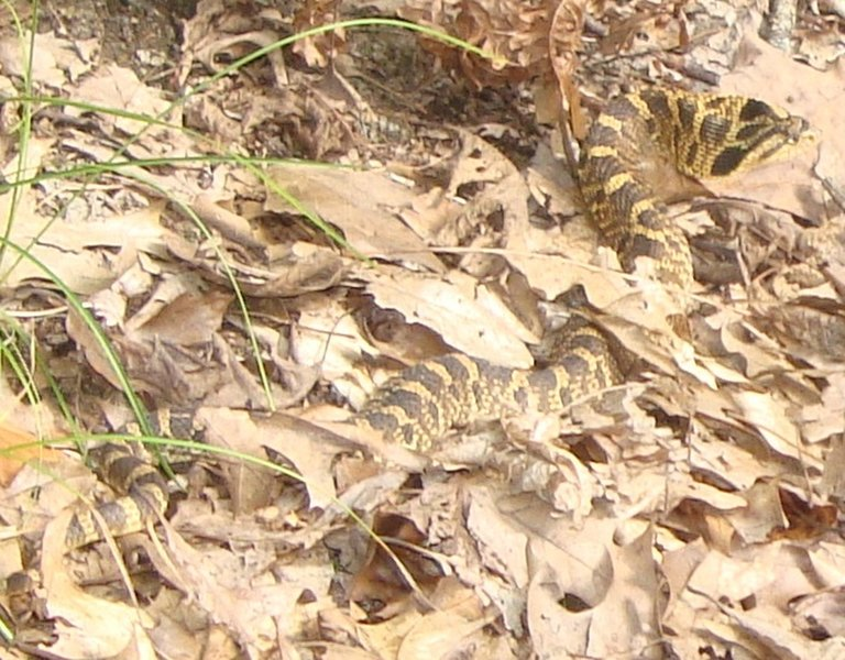 "Eastern Hognose Snake aka ""puff adder"" crossing the trail in the fall. When confronted, the hognose snake will suck in air; spread the skin around its head and neck, hiss, and lunge pretending to strike. Despite the show, hognose snakes almost never bite."