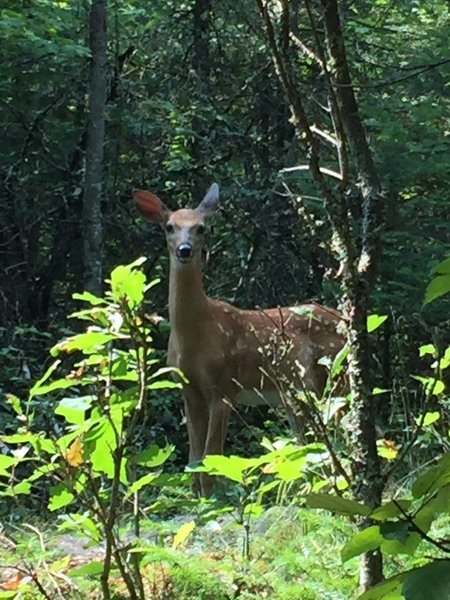 Fawn on the trail.