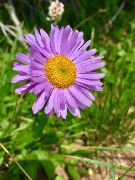 Stunning wildflowers at camp near Devil Thumb Lake 08/07/18