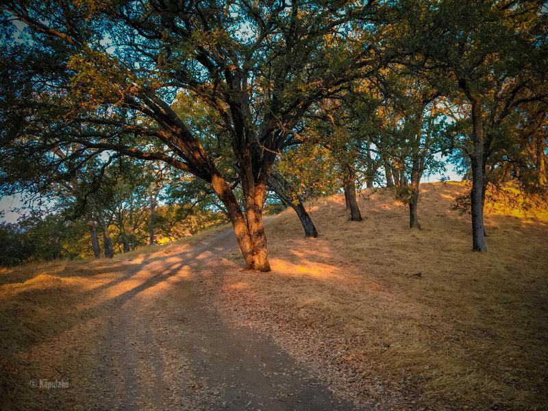 Sunlight filtering through the oak trees