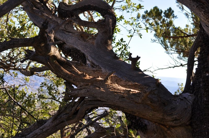 An awesomely gnarly tree on the Y-Bar trail.