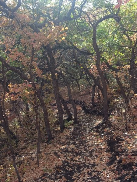 Taller scrub oaks form a tunnel of great fall colors