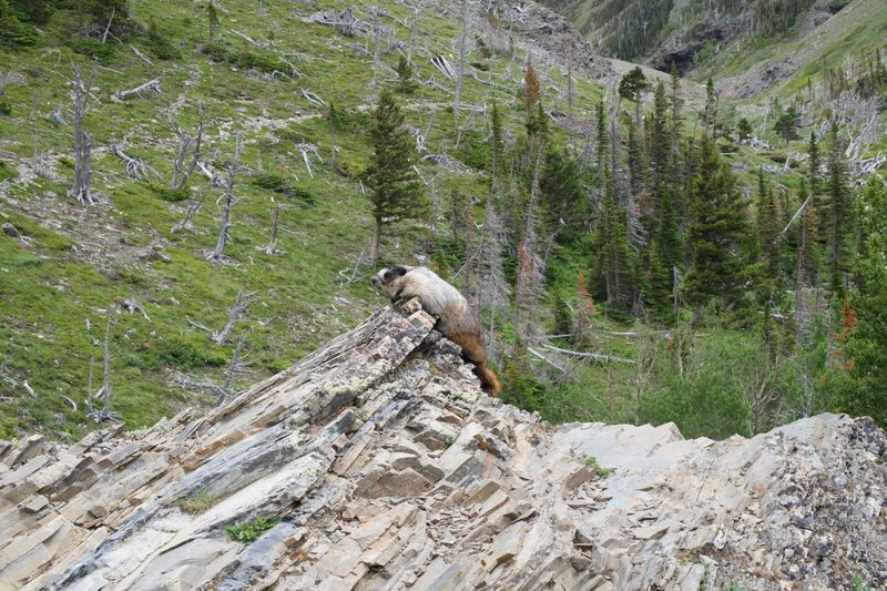 A marmot sits beside the trail checking out the hikers and Big Horn Sheep that were in the area.