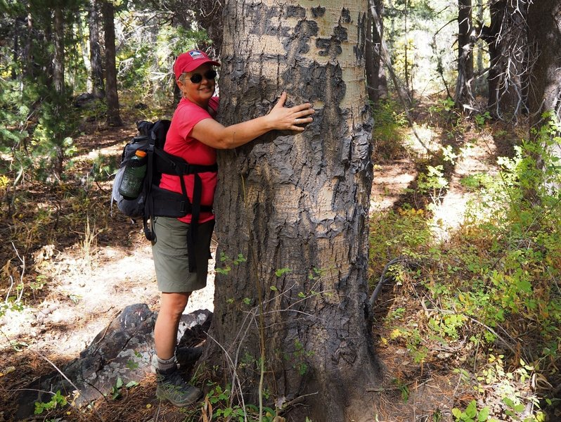 One of the many very large aspens in Lundy Canyon