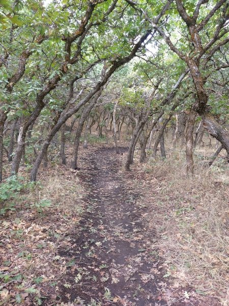 Scrub oaks create a shady tunnel on the Little Valley A Line trail