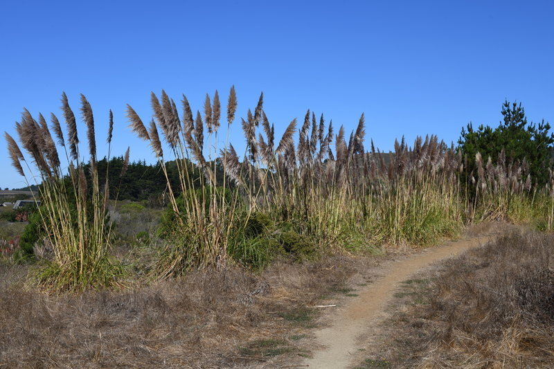 The San Carlos Trail is fairly open.  Cortaderia jubata, a weedy pampas grass, grows along the trail.
