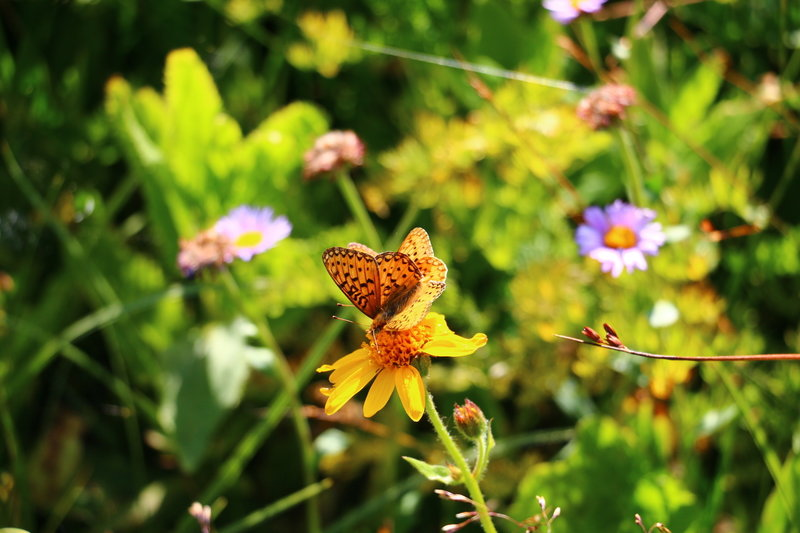 Tons of butterflies around Stone Lake and Irving Hale Pass