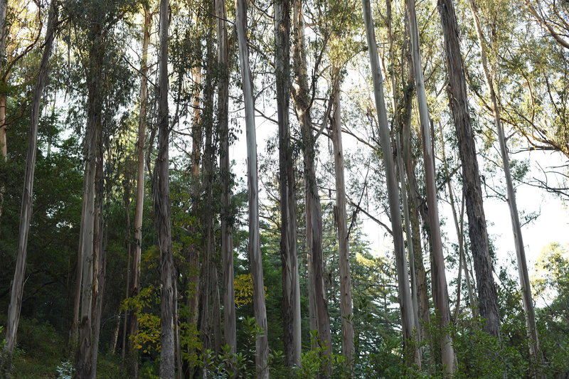 A grove of eucalyptus trees sits at the junction fo the Meadow and Redwood Trails.