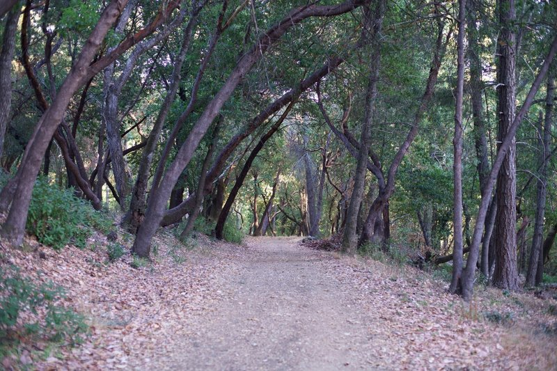 The dirt trail passes through groves of oak trees.  Leaves add a little cushion through this area.