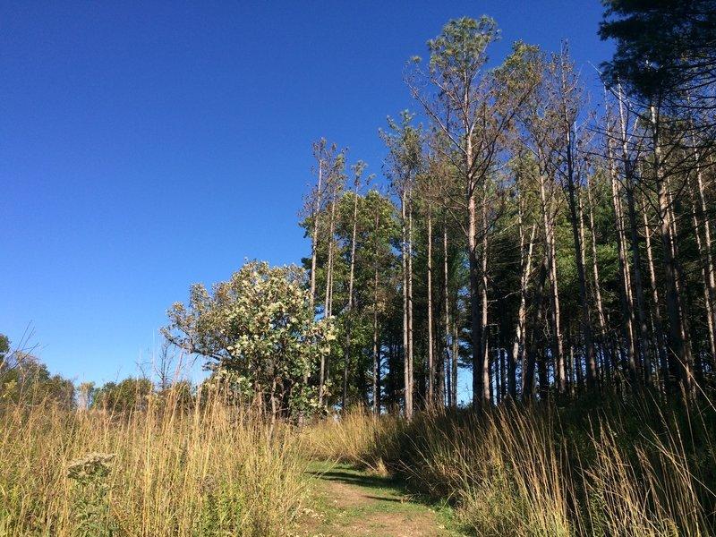 sad stand of pines