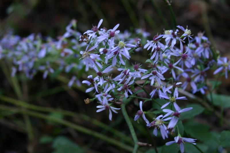 Final blooms of Georgia Aster