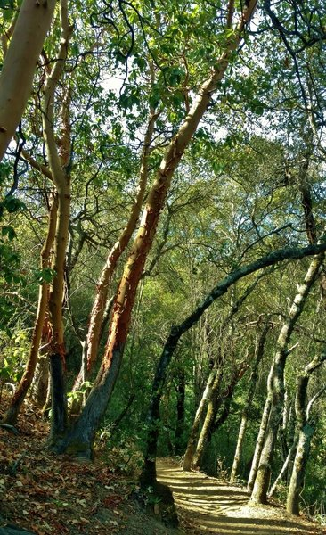 The sunlit woods with manzanita and other trees along the hillsides of Contour Trail.