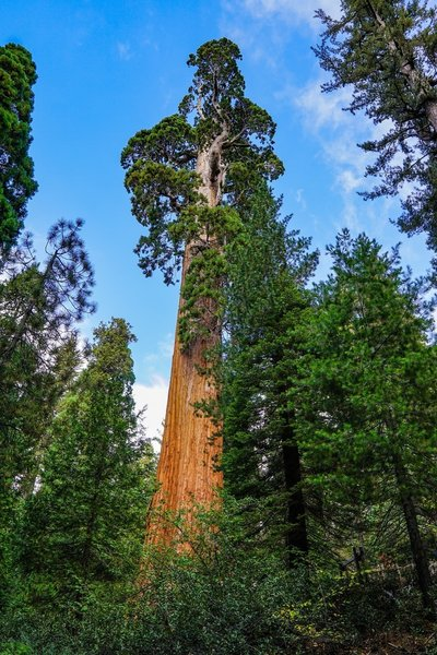 The General Grant Tree towers above the surround forest.