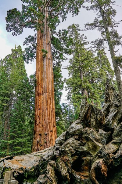 Another view of the Fallen Monarch and other area Giant Sequoias.