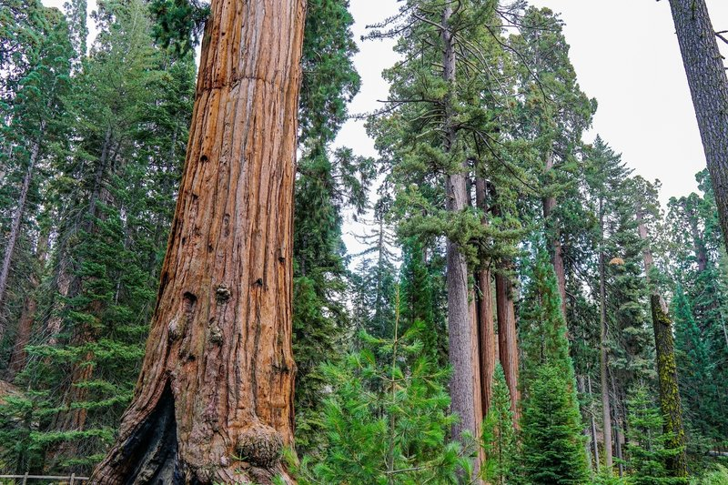This trail provides constant views of these majestic trees.