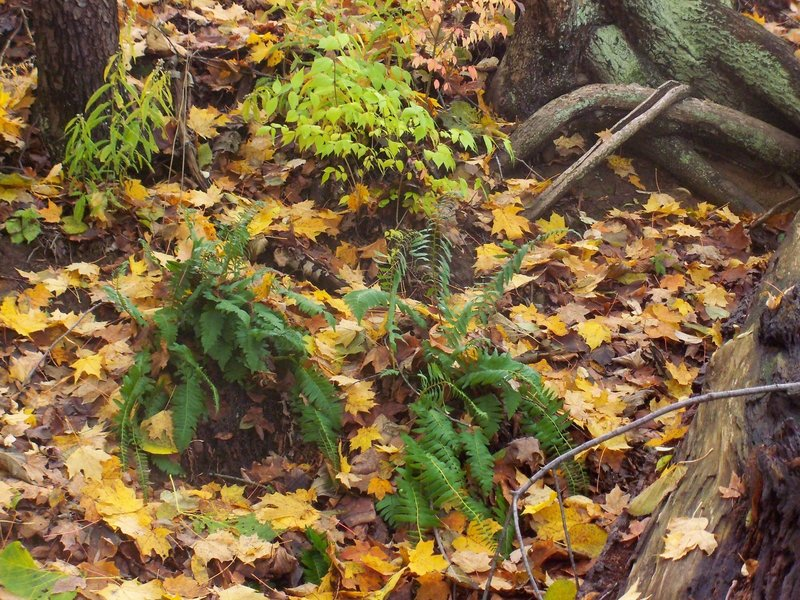Mt. Gilead State Park - ferns on the hillside.