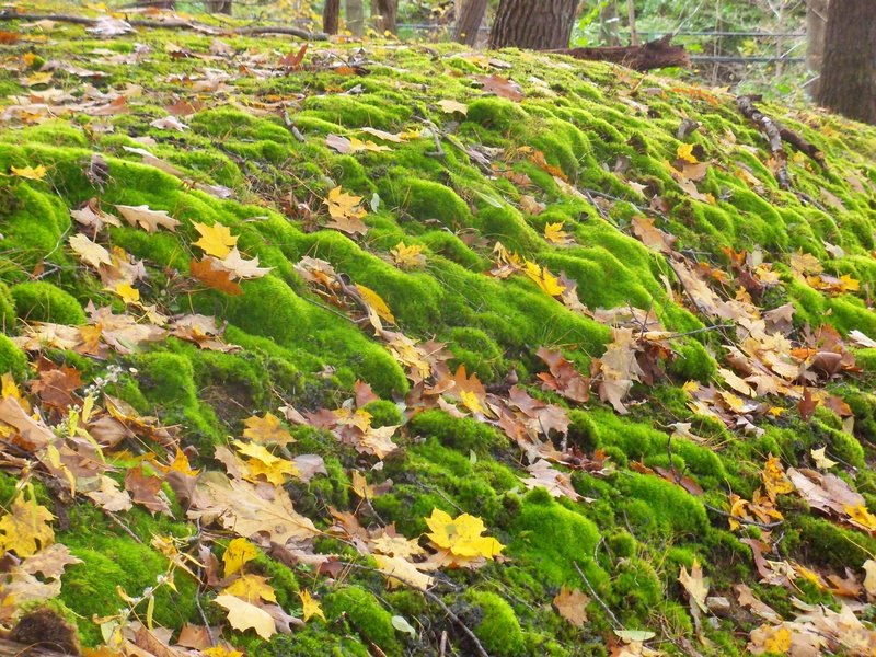 Mt. Gilead State Park - mossy hillside.
