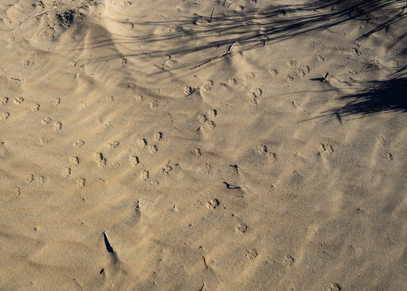 Animal tracks are abundent in the sands of Kelso Dunes.
