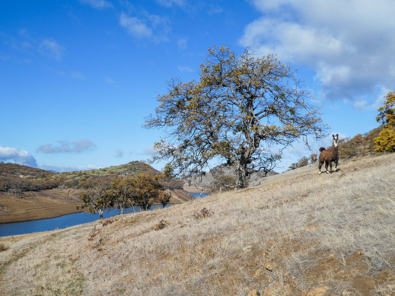 Free range llama (not fenced in) at Emigrant Lake.