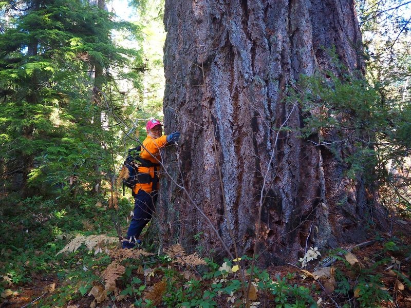 A magnificently huge old-growth tree along the Union Creek Trail
