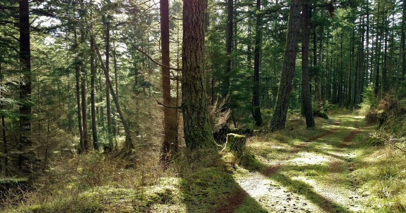 Sunlight streams through the firs and other trees along Center Loop Trail.