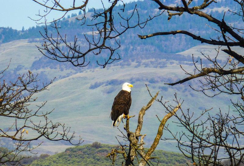 Bald eagle near Emigrant Lake quarry in Jan. 2015