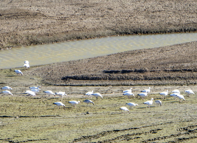 Snow geese at Emigrant Lake 11-11-2018