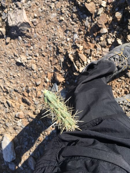 This is what happens when you brush a Cholla cactus.