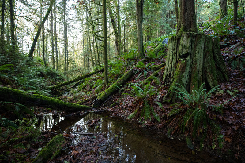 The next generation of trees rises out of the old growth remains next to this lovely stream.