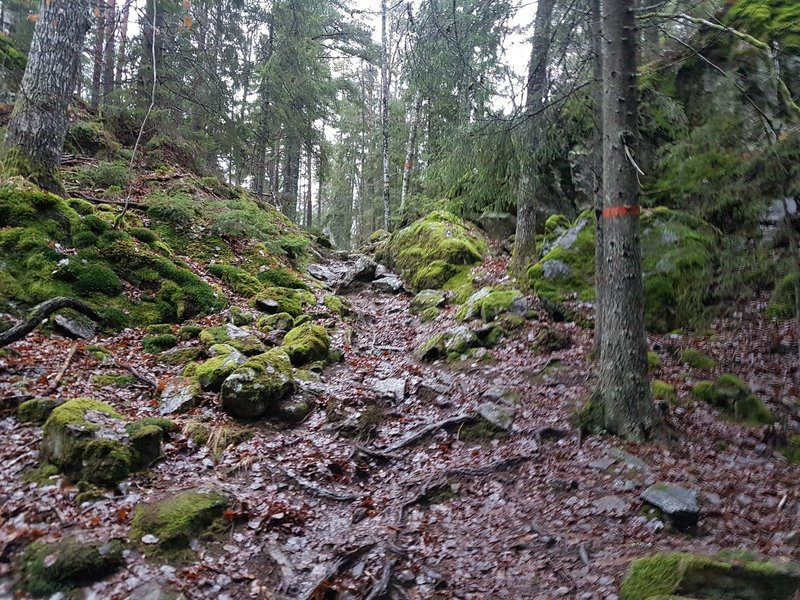 Wet and slippery roots and stones at the Sörmland Trail in Tyresta National Park. You also see the specific marking colour of the trail -  orange.