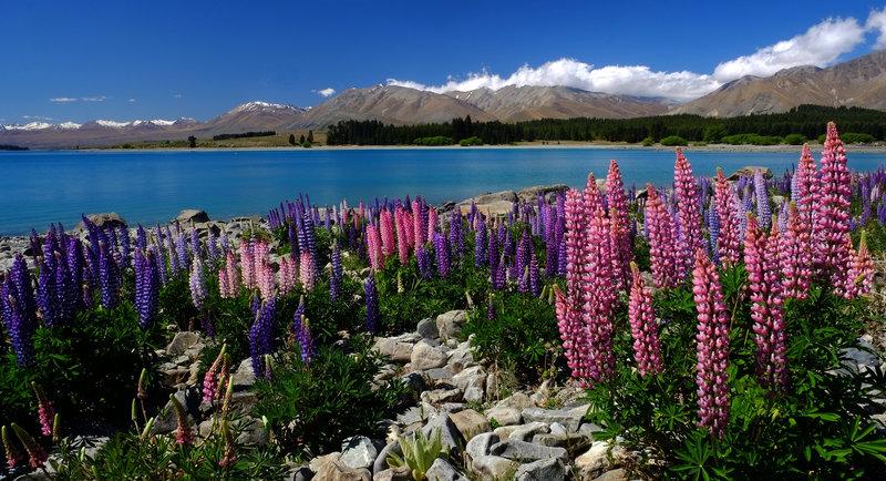 Lake Tekapo in the spring.