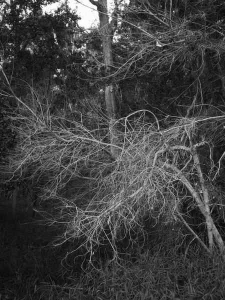 Forest view, Keauhou Alternate Access Trail