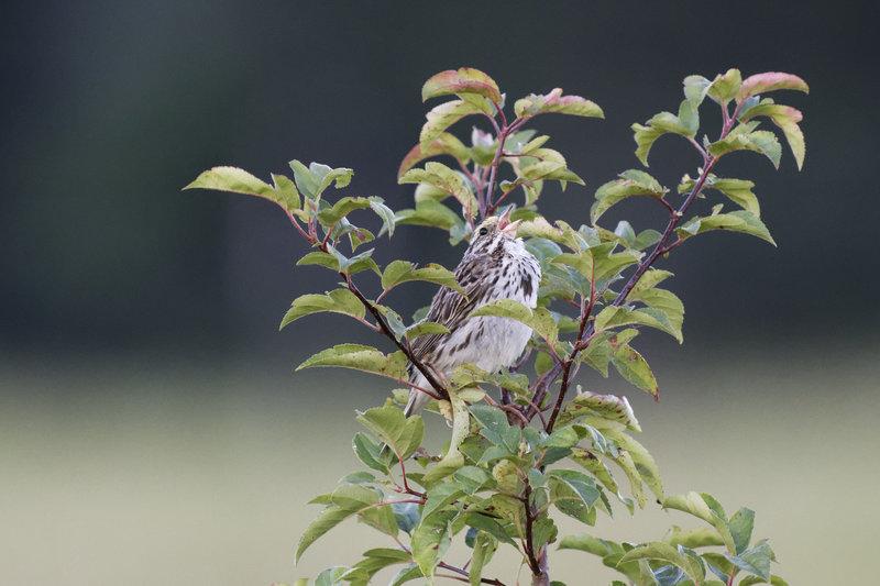 Savannah Sparrow at Frohring Meadows