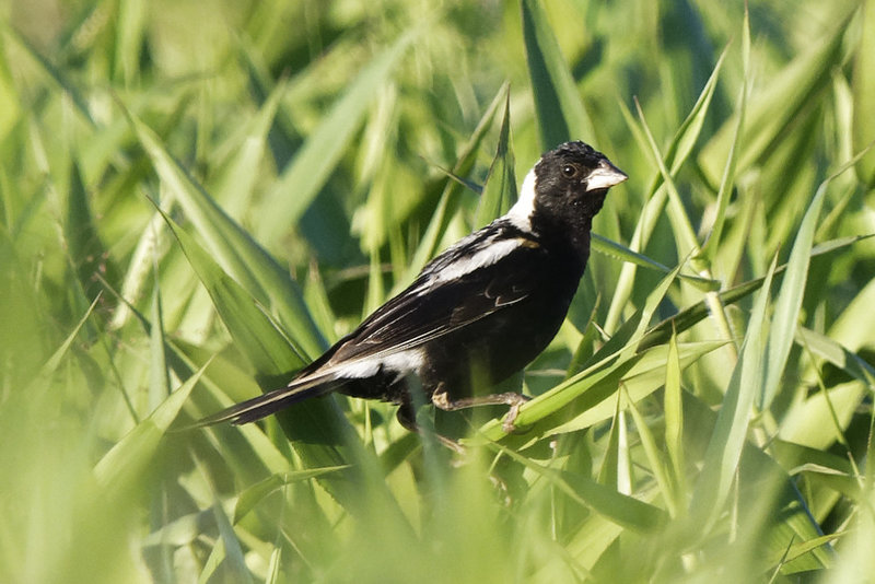 Bobolink at Frohring Meadows