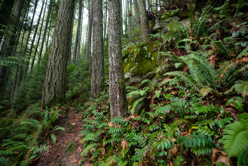 A steep slope and lots of ferns makes fro an interesting setting along the start of the Hillside Trail.