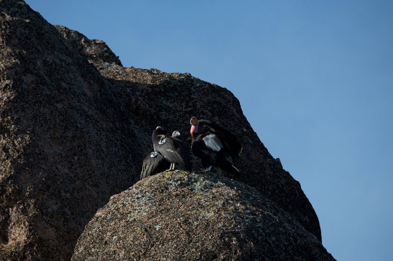 Condors sit on the rocks above the High Peaks.